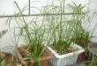گیاه نخل مرداب، یک گیاه آپارتمانی مناسب