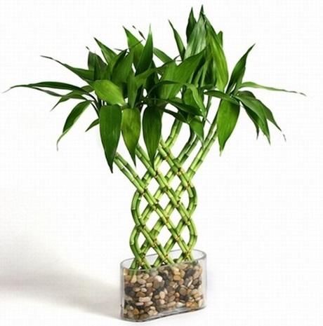 بامبو | گل بامبو و نحوه نگهداری از بامبو