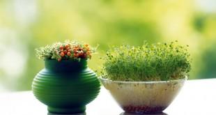 سبزه سفره هفت سین | سلامت دات لایف