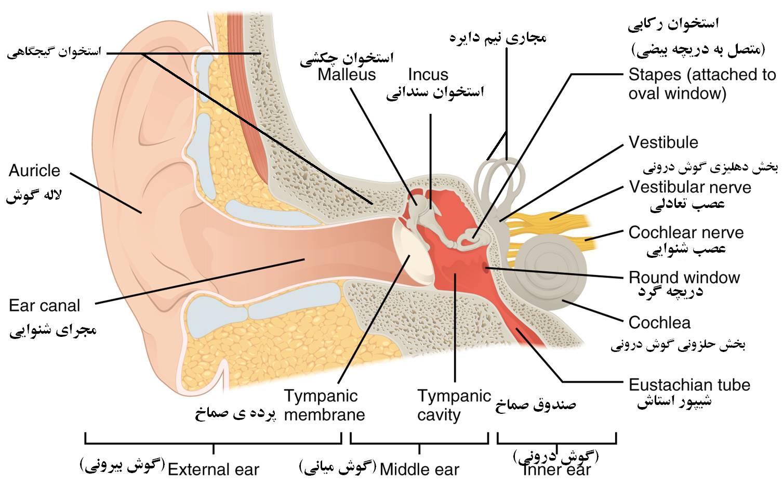 ساختار گوش | سلامت دات لایف