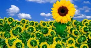 فواید تخمه آفتابگردان در تقویت رشد مو