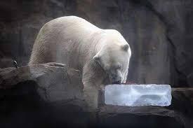 خنک کردن خرس قطبی با یخ
