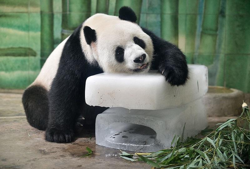 خنک کردن خرس پاندا با یخ در چین