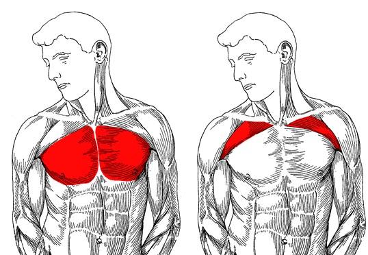 آناتومی عضلات سینه