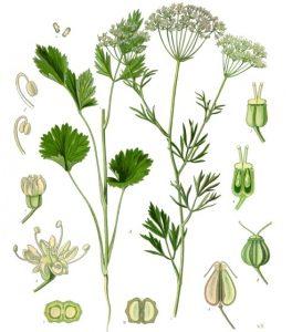 عکس گیاه انیسون